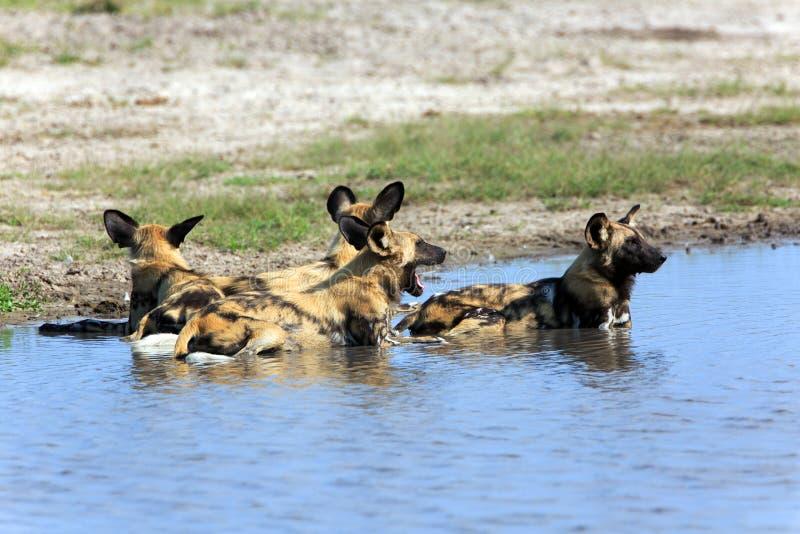 dogs wild royaltyfria bilder