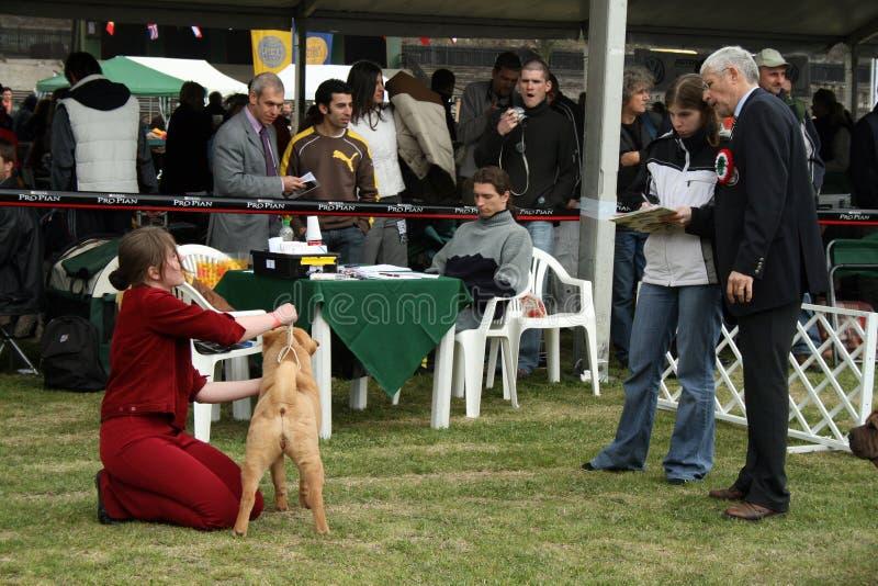 dogshow судя sharpeis стоковая фотография