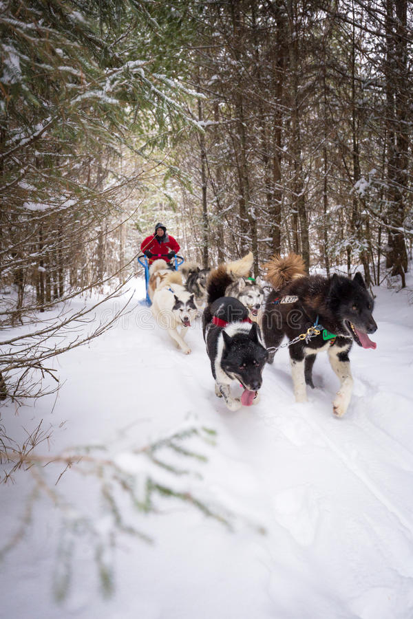 Dogsled Team and Person Snowy Trail in Woods Winter Sport stock photos
