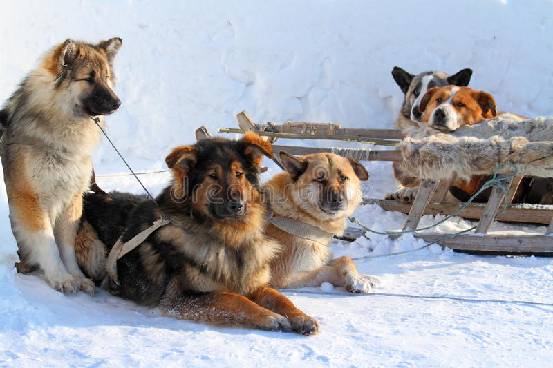Dogsled on Yamal. Draft dogs have a rest on snow stock photo