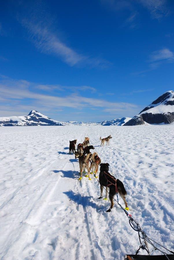 Dogsledding stock afbeelding