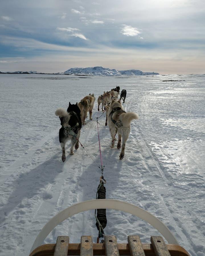 Dogsledding på en kall dag i Icleand royaltyfri fotografi