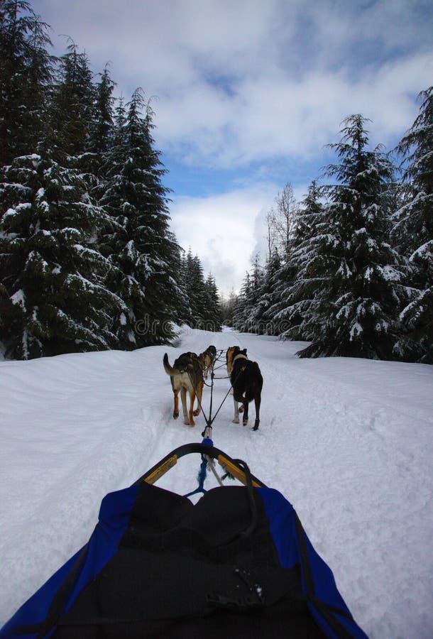 Dogsledding w Callaghan dolinie, BC obrazy stock
