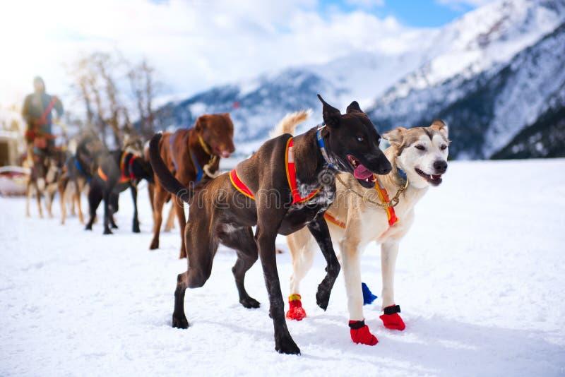 Dogsledras op sneeuw in de winter stock afbeeldingen