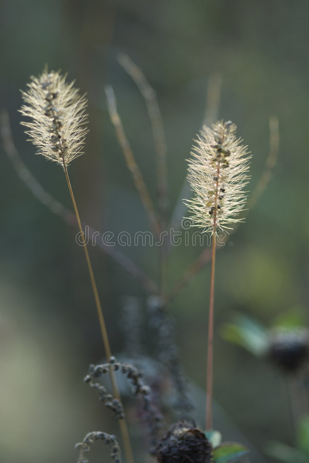 Dogtail weed royalty free stock photography