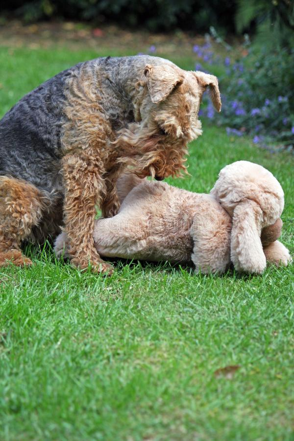 Dog Terrier toy royalty free stock image