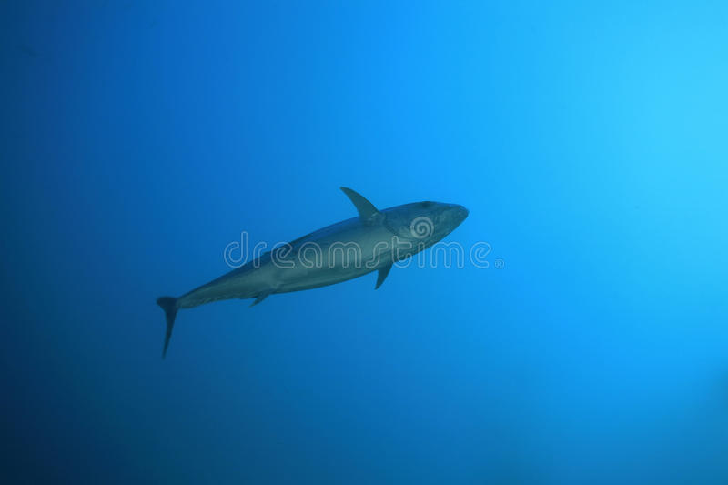 Dogtooth tuna. In the indian ocean stock photo