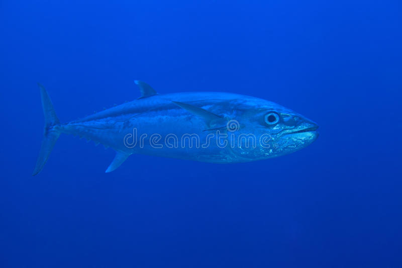 Dogtooth Tuna. In the open water of the ocean stock photos