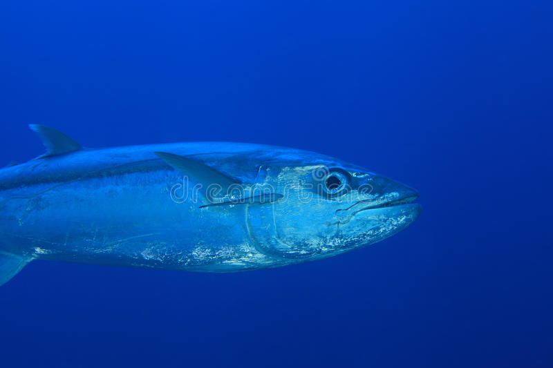Dogtooth Tuna. In the open water of the ocean stock photo