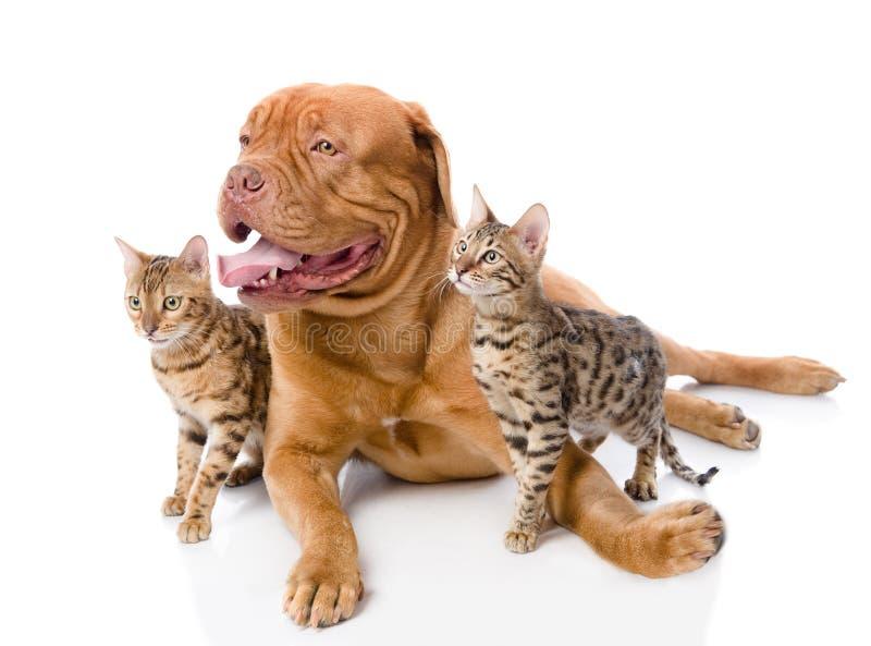 Dogue de Bordéus (mastim francês) e gatos de Bengal (Prionailurus fotografia de stock