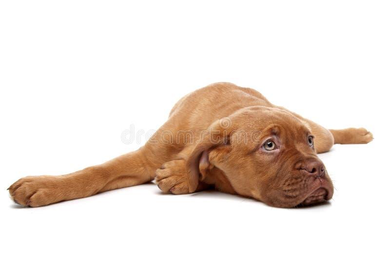 Dogue de Bordeaux immagini stock libere da diritti