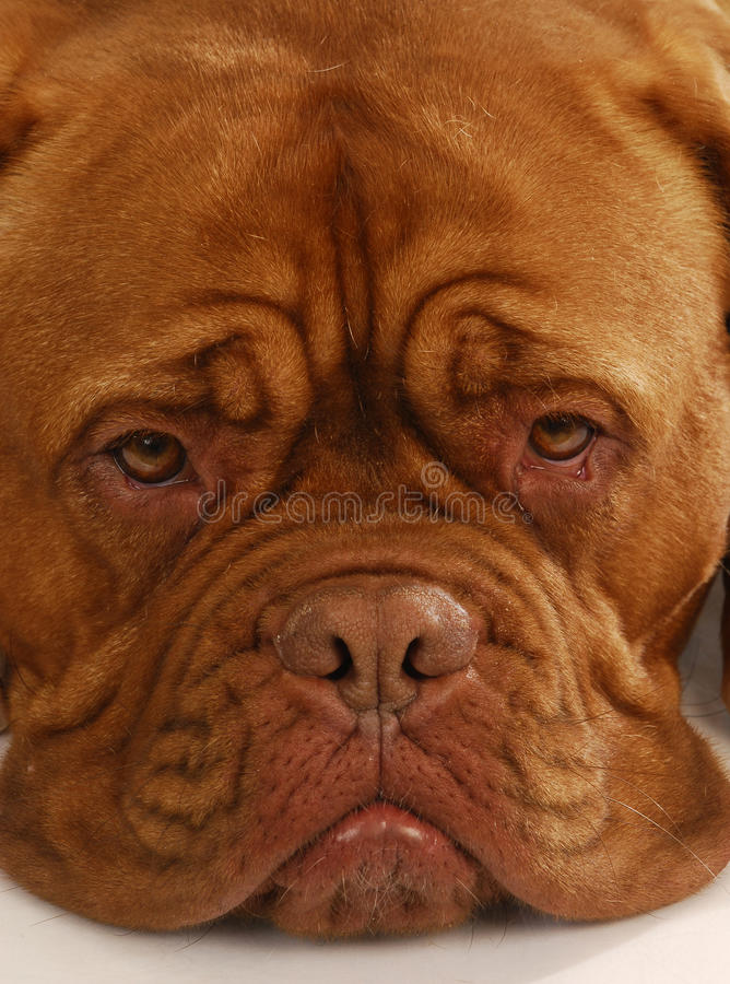 Dogue de bordeaux fotografie stock