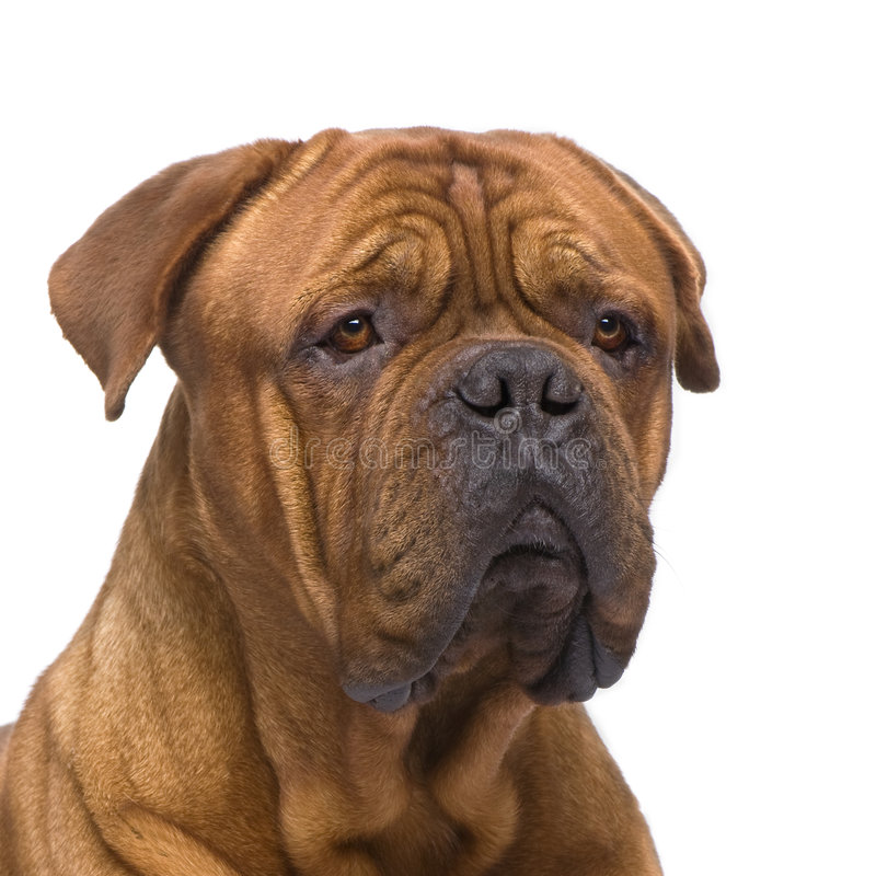 Download Dogue De Bordeaux (2 Years) Royalty Free Stock Image - Image: 7645236