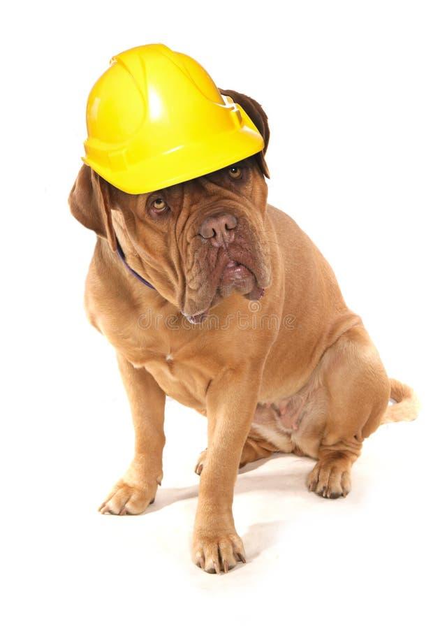 Dogue De Bordeaux che indossa un casco di sicurezza dei costruttori immagini stock