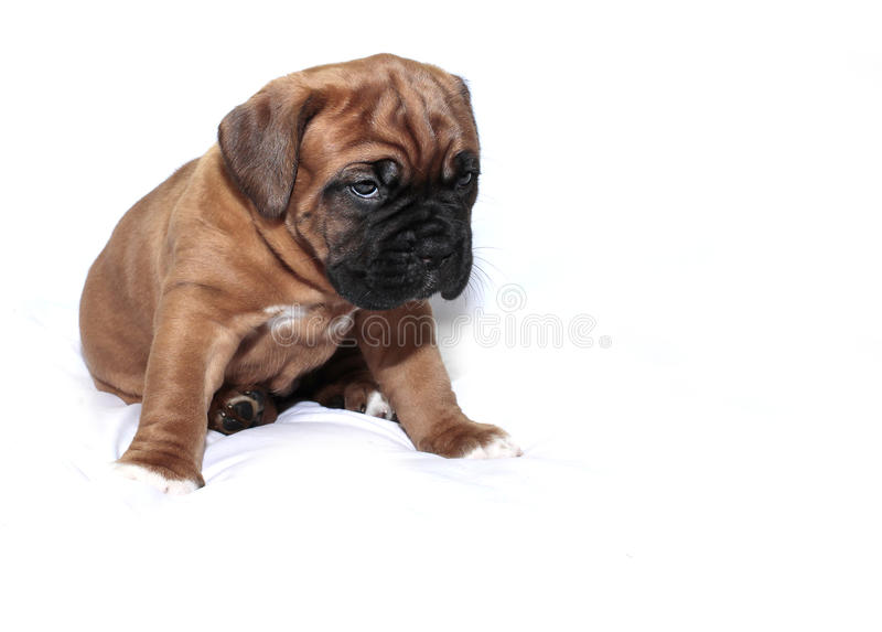 Dogue de Bordeaux - cucciolo - maschera nera rara immagine stock