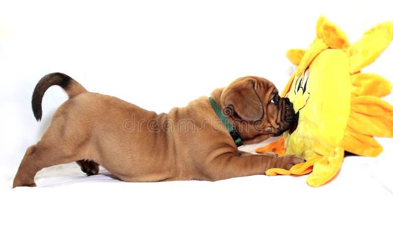 Dogue de Bordeaux - cucciolo - maschera nera rara fotografia stock libera da diritti