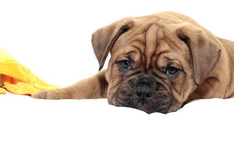 Dogue de Bordeaux - cucciolo - maschera nera rara immagini stock libere da diritti