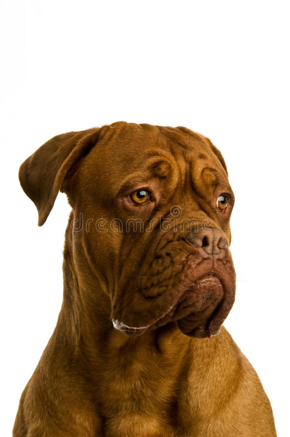 Download Dogue De Bordeaux dog stock image. Image of french, dogue - 25642359