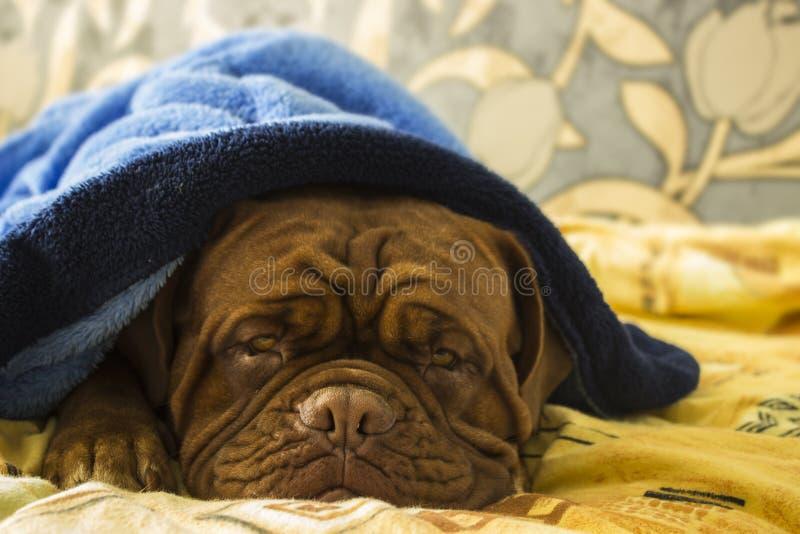 Dogue de Bordeaux in einem Bett stockbilder