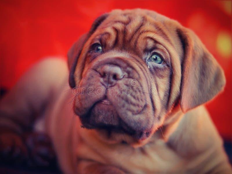 Dogue de Bordeaux - French Mastiff stock photo