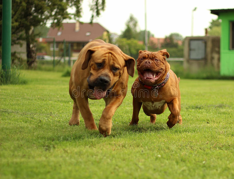 Dogue de Bordeaux leklek royaltyfria bilder