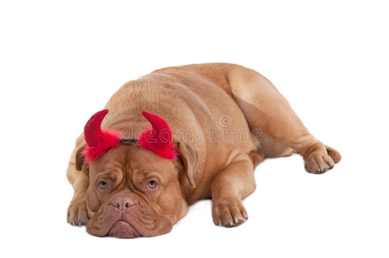 Download Dogue De Bordeaux Lying With Horns Isolated Stock Photo - Image of charming, masquerade: 17992270