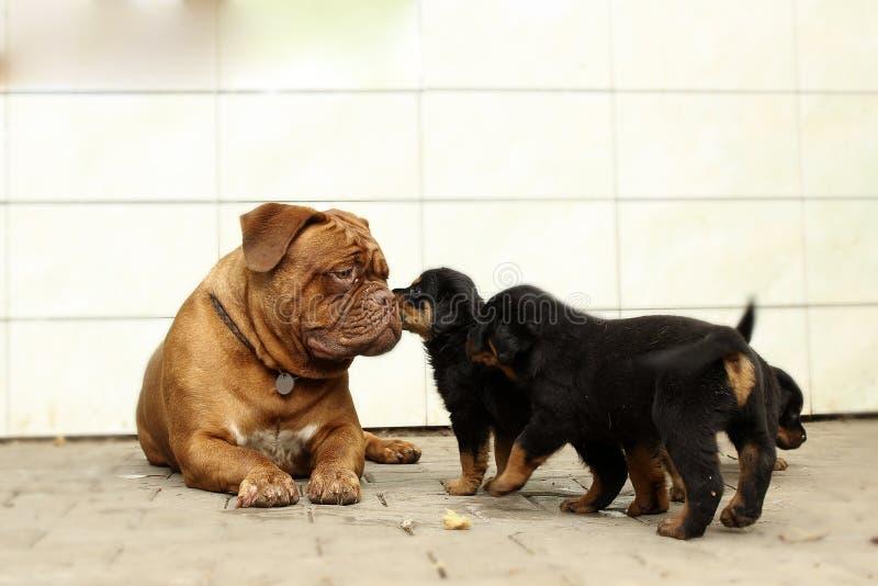 Dogue de Bordeaux och Rottweiler valplek royaltyfria bilder