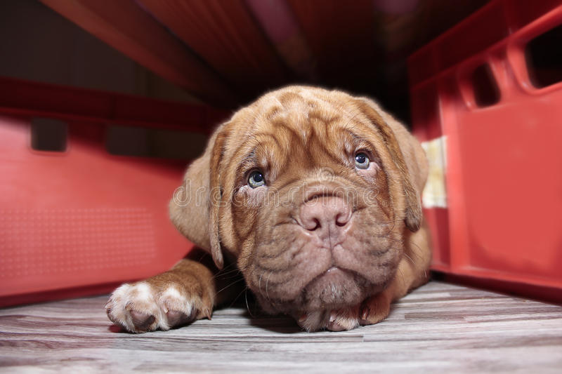 Dogue de Bordeaux - piccolo cucciolo fotografie stock