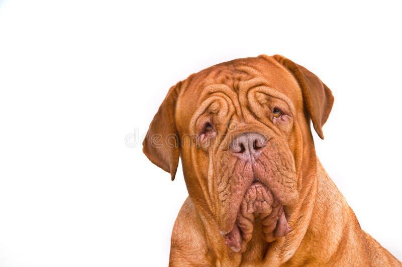 Dogue de Bordeaux Portrait photo stock