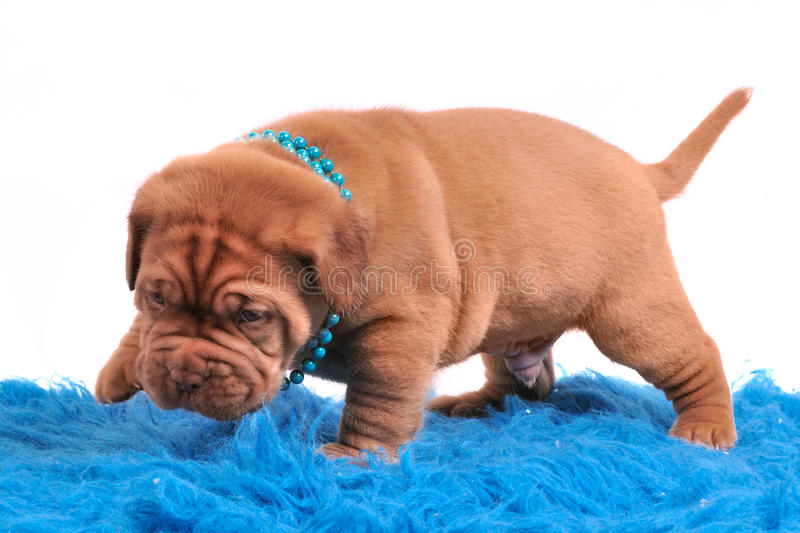 Download Dogue De Bordeaux Pupp Is Only Learning To Walk Stock Photo - Image of newborn, lovely: 14164318