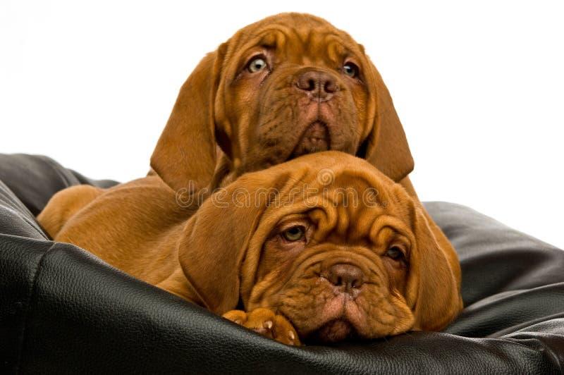 Download Dogue De Bordeaux Puppies Stock Photography - Image: 25642392
