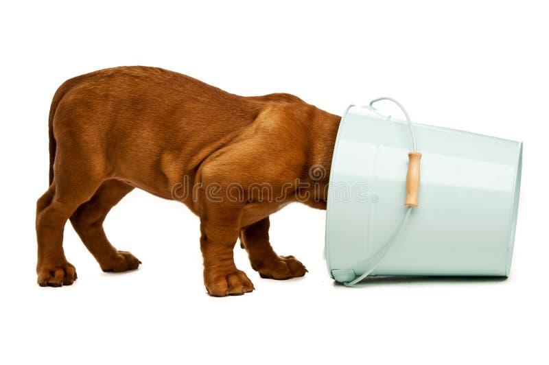 Download Dogue De Bordeaux puppy stock image. Image of shot, blue - 25642399
