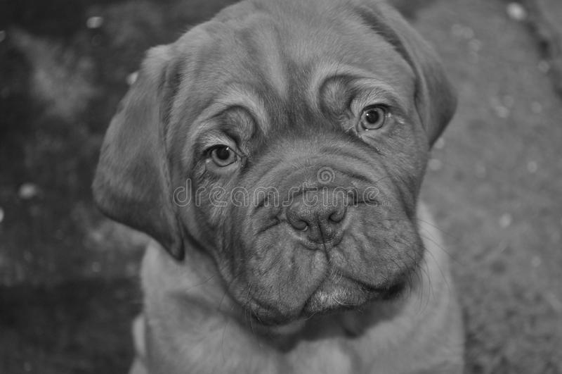 Dogue de Bordeaux Puppy fotografia stock libera da diritti