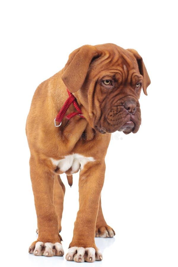 Dogue de bordeaux puppy is standing stock photo