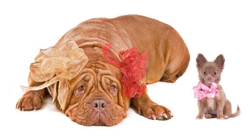 Dogue De Bordeaux und Chihuahuawelpe lizenzfreies stockbild