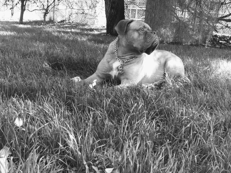 Dogue de Bordeaux fotografía de archivo