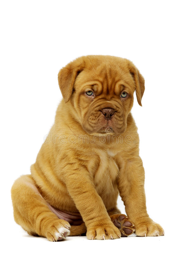 Dogue De Boudeux Puppy Isolated on a white background royalty free stock photography