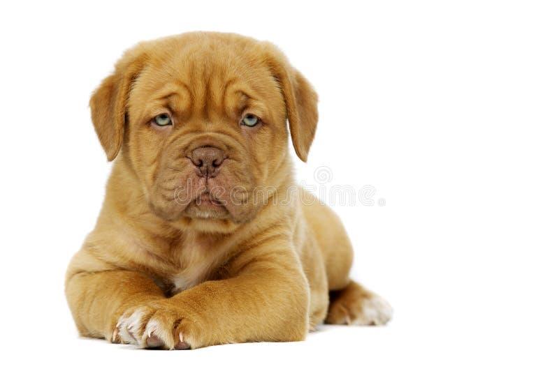 Dogue De Boudeux Szczeniak Odizolowywający na białym tle zdjęcie royalty free