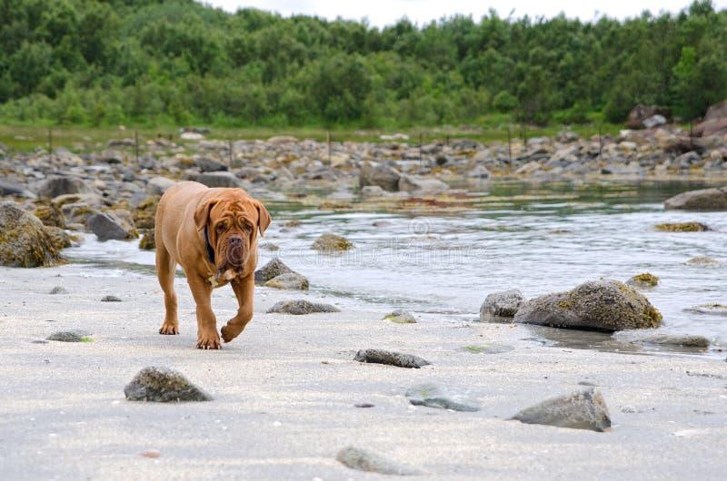 Dogue DE die Bordeaux langs het strand, Bodoe, Noorwegen lopen royalty-vrije stock foto's