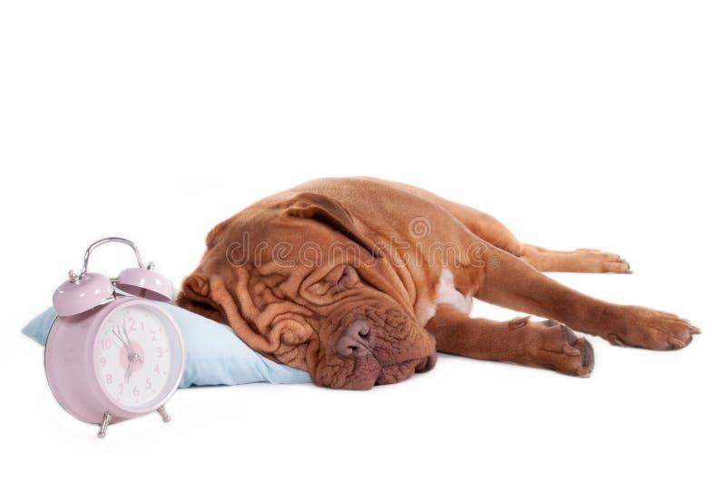 Dogue sur un oreiller photos stock