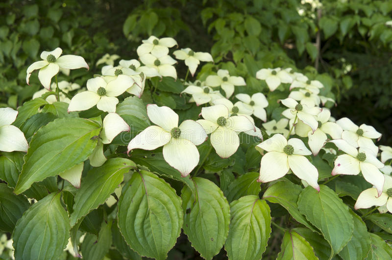 Dogwood in bloom. royalty free stock image