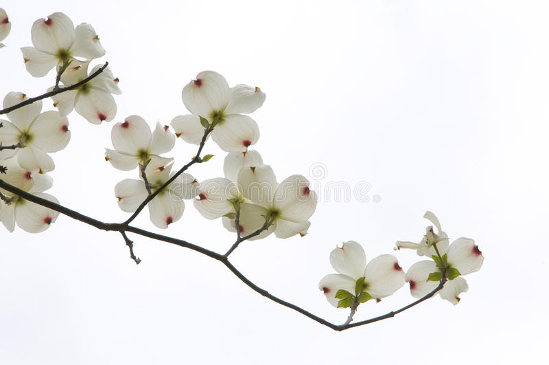 Dogwood Blossom stock photos