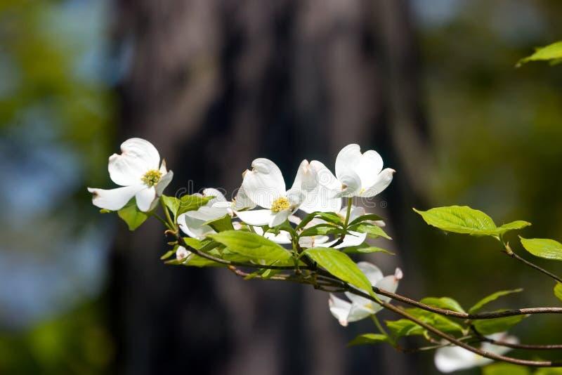 Dogwood Blossoms II royalty free stock image