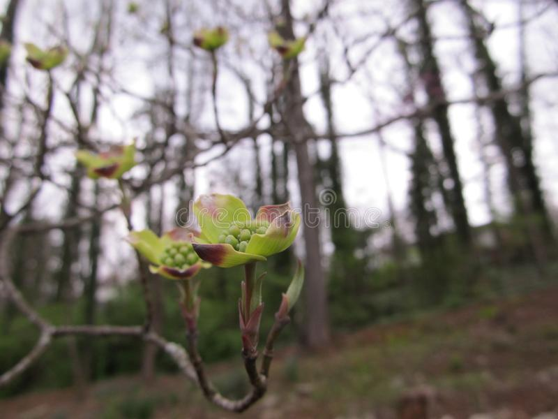 Dogwood Buds royalty free stock images