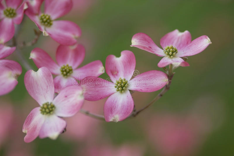 Dogwood cor-de-rosa fotografia de stock