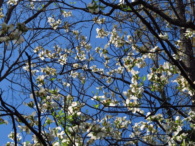 Dogwood6 de floraison images stock