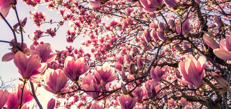 Dogwood de florescência cor-de-rosa foto de stock royalty free
