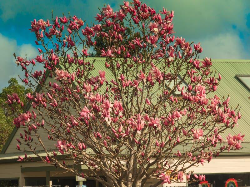 Dogwood di fioritura dentellare immagine stock