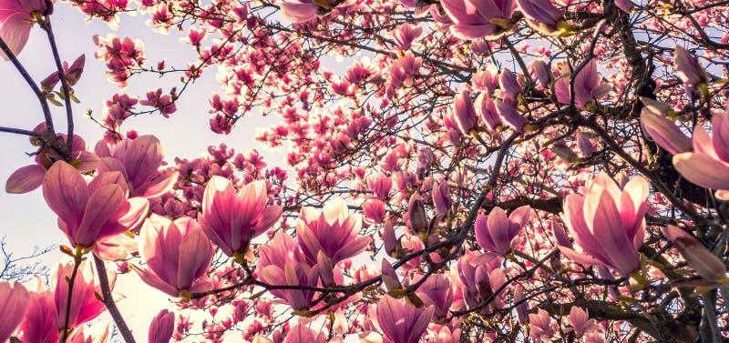 Dogwood di fioritura dentellare fotografia stock libera da diritti