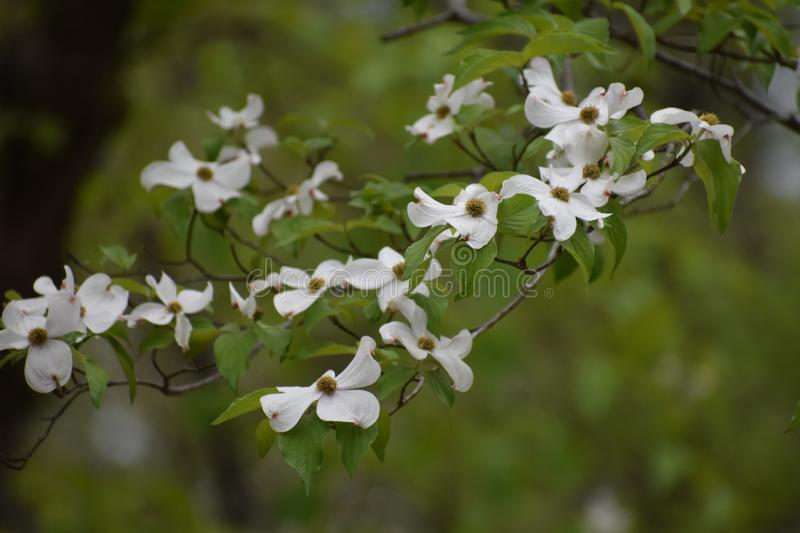 Dogwood Flowers in East Texas. This was taken in East Texas, I was driving and looking for flowers. FYI Dog wood trees are all around Lake Lydia in Quitman Texas stock images